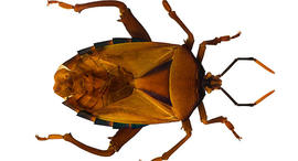 bed bug, bed bugs, generic, stock