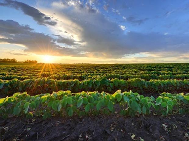 soy bean crops