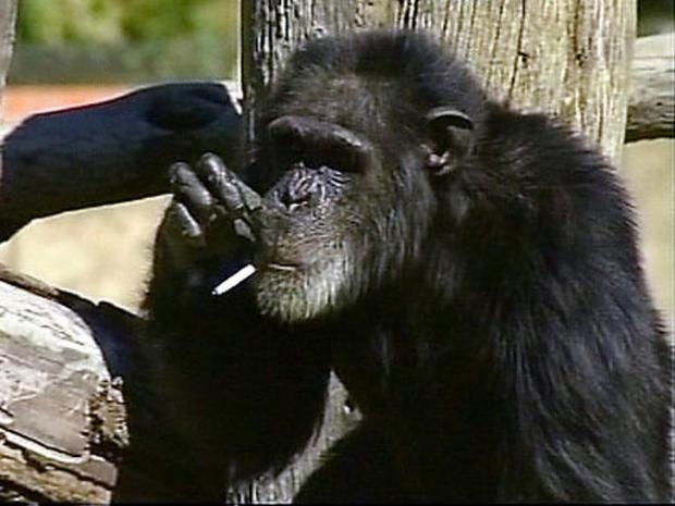 Charlie the smoking chimp.