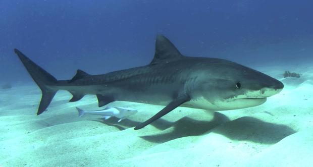 Bull Shark - Five Most Dangerous Sharks to Humans ...  Bull Shark - Fi...