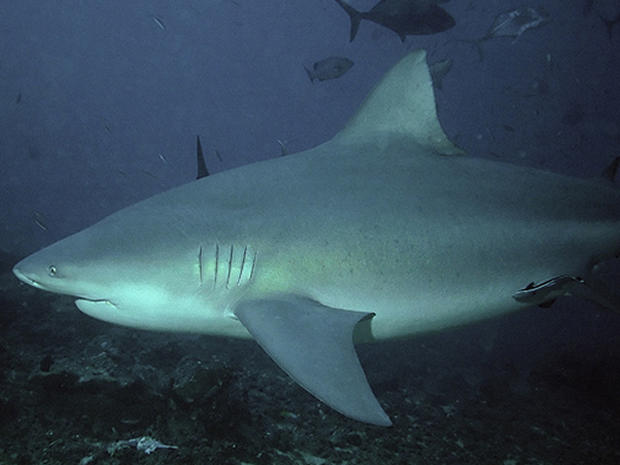 Five Most Dangerous Sharks to Humans