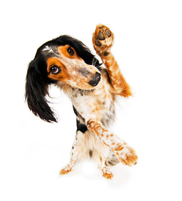 dog-hind-legs_000011031175X.jpg