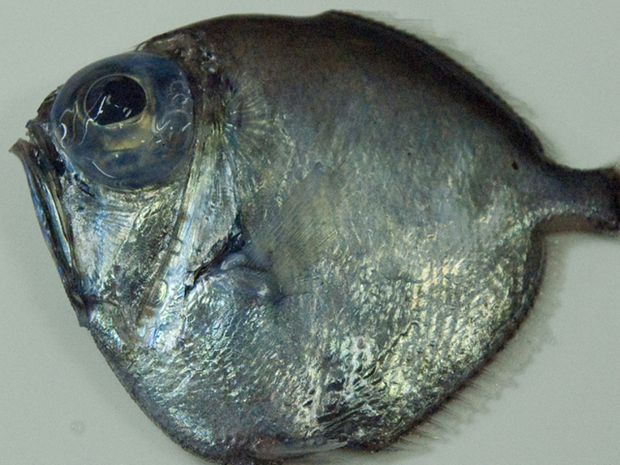 Strange Fish Discovered in Southern Indian Ocean