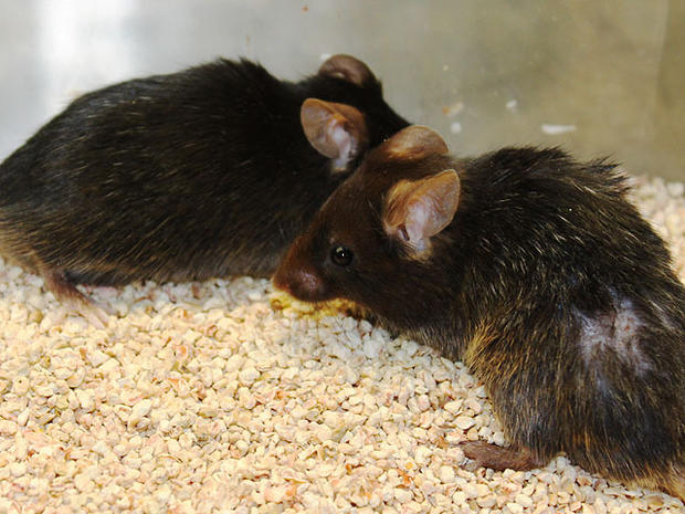 Aging Mice Made Young: Have We Discovered Immmortality?
