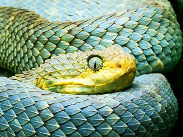 african bush viper, snake, isockphoto, 4x3