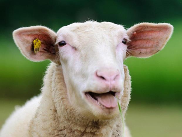 sheep_000013191406XSmall.jpg