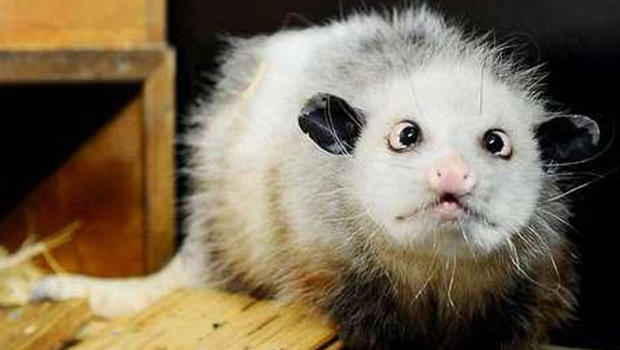 Heidi The Cross Eyed Opossum Becomes A Star In Germany