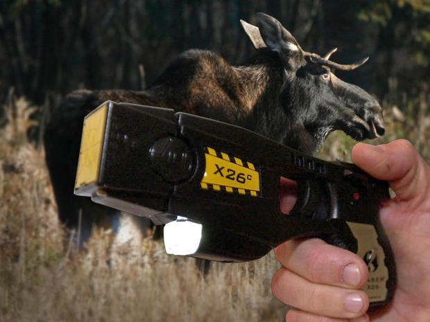 Taser Fails To Slow Roaming Alaska Moose