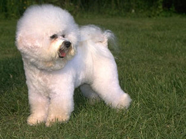Dogs: Bichon Frise - Family-friendly pets - Pictures - CBS News