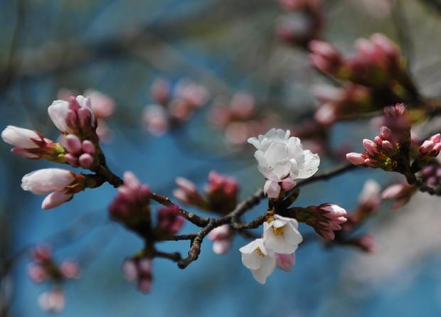 cherry_blossoms_110872206.jpg