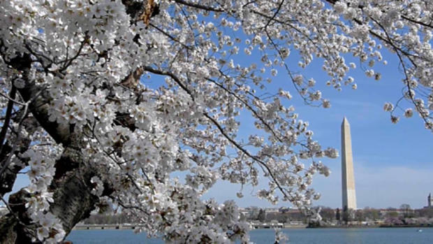 cherry_blossoms_110889903.jpg