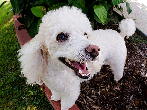 Poodle - Got allergies? 15 hypoallergenic dogs and cats - Pictures