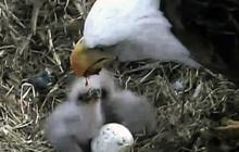 Bald Eagle feeds eaglets
