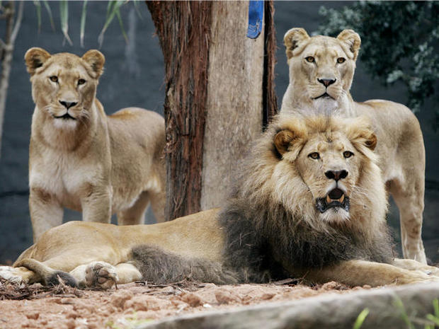 Big cat burglars: Break-in at Chicago lion house