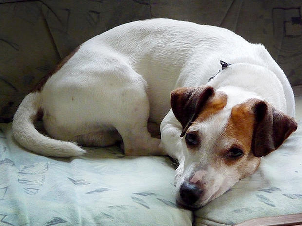 jack russell, terrier, dog, stock, 4x3