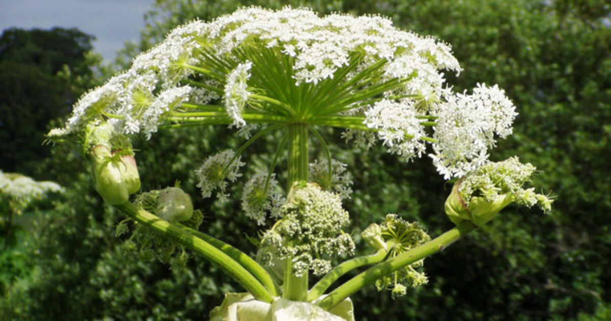 What Does Giant Hogweed Look Like Giant Hogweed  Facts You Must Know About The Toxic Plant Pictures Cbs News
