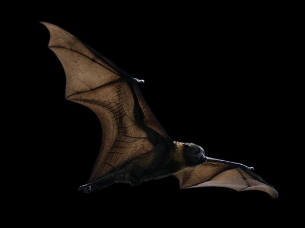 U.S. bats in deep peril