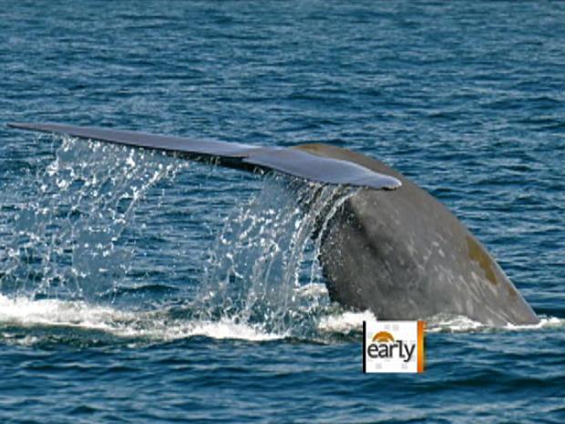 Gigantic blue whales stun the SoCal coast
