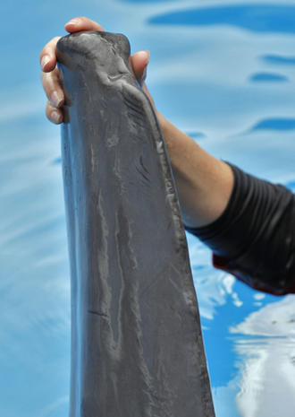 Dolphin's prosthetic tale comes to the big screen