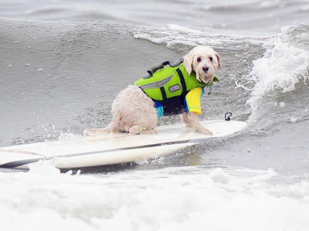 dog_surfing_6.jpg