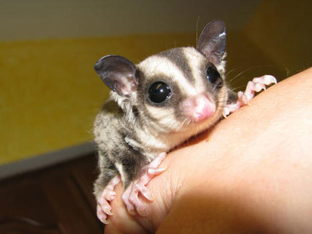 sugar glider unusual pets that are legal to own pictures cbs news
