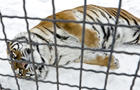A Siberian tiger enjoys the snow in a cage at the zoo