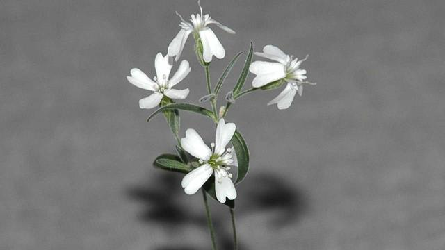 Silene stenophylla, flower, regeneration