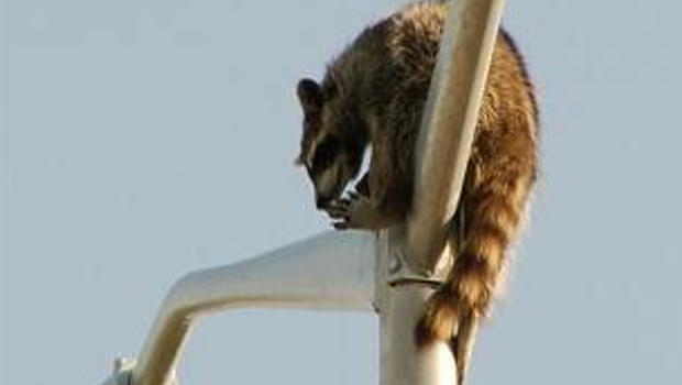 Raccoon stuck at the top of a pole
