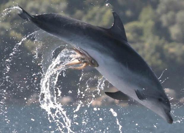 dolphin-octopus-genitals