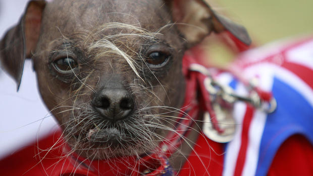 "Mugly wins World's Ugliest Dog"" contest"