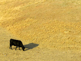 A cow looks for something to eat as it grazes in a dry pasture southwest of Hays, Kansas, July 6, 2012.