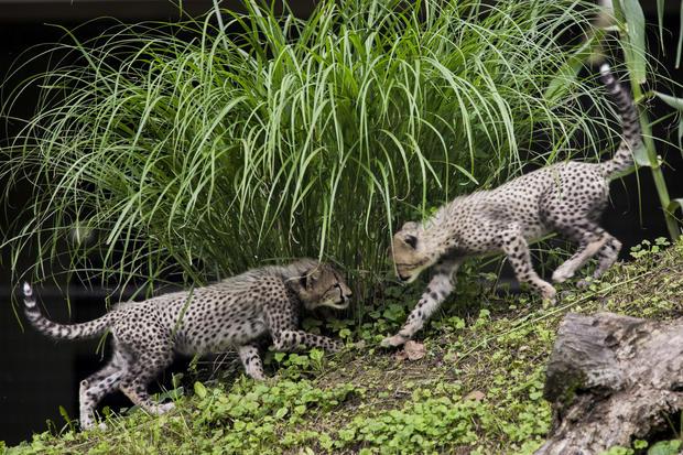 Cheetah cubs make debut at National Zoo