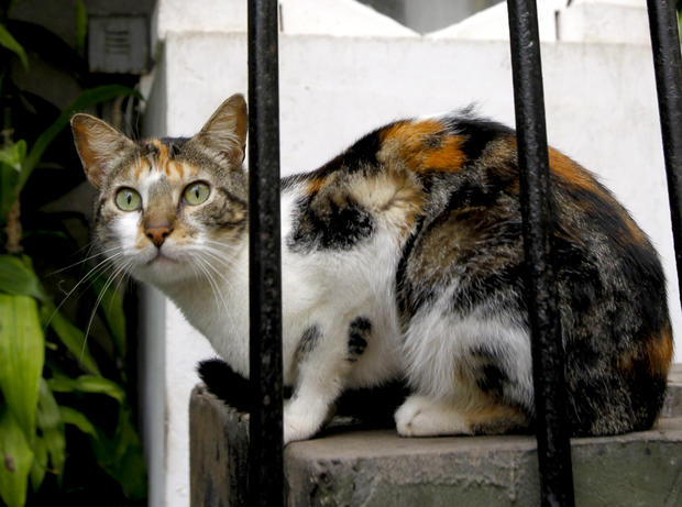 A cat sits in the central park of Lima's upscale seaside Miraflores district, in Peru, Wednesday, Aug. 2, 2012.