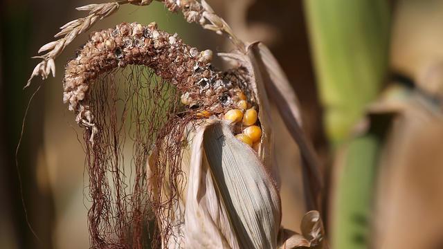corn_drought_149950846.jpg