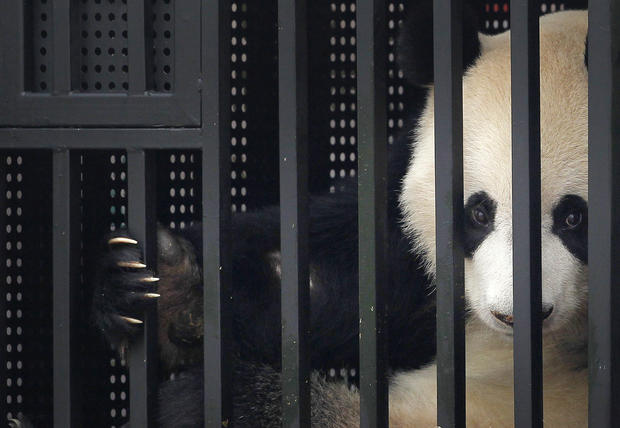 Pandas start their journey in Singapore
