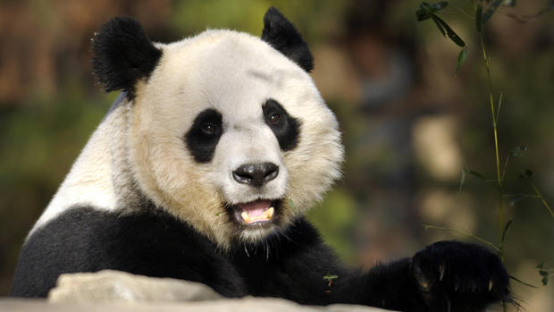 Panda gives birth at National Zoo