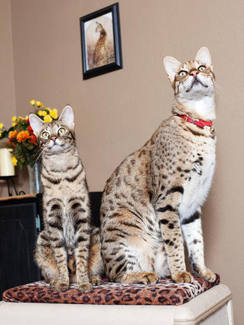 tallest cat ever latest guinness world records pictures cbs news - Smallest Cat In The World Guinness 2013