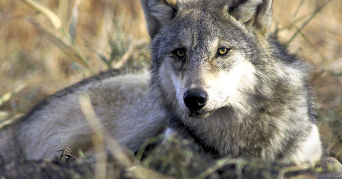 Trump administration ends endangered species protections for wolves as conservationists threaten lawsuits