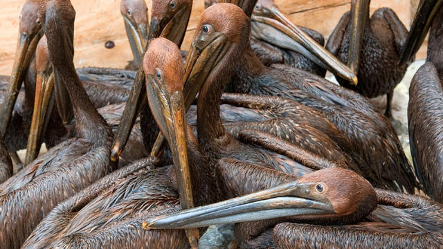 Oil-covered brown pelicans found off the Louisiana coast and affected by the BP Deepwater Horizon oil spill in the Gulf of Mexico wait in a holding pen for cleaning at the Fort Jackson Oiled Wildlife Rehabilitation Center in Buras, La., June 11, 2010.