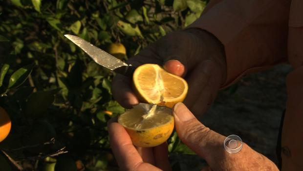 Florida's oranges under attack
