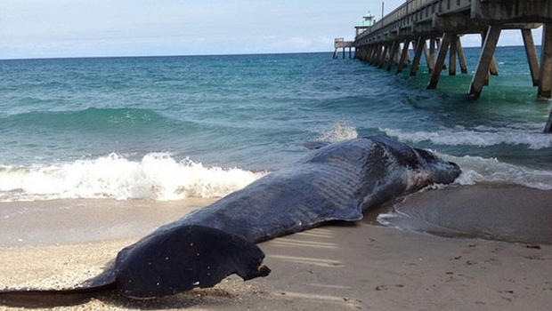 Baby sperm whale in florida