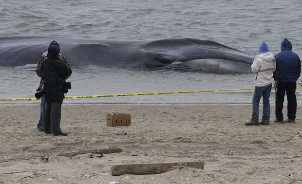 Whale washes up on NYC shore