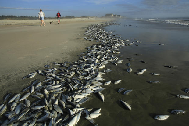 Thousands of dead fish wash ashore in S.C.