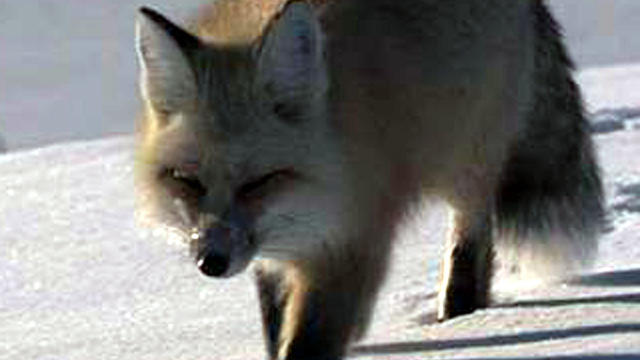 A fox breeding program in Russia may help reveal the genetic roots of domestication of animals.
