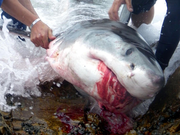 Great white shark catcher convicted