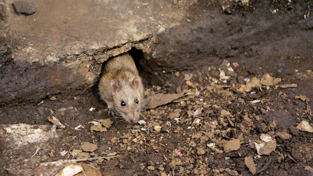 AP_rats.jpg