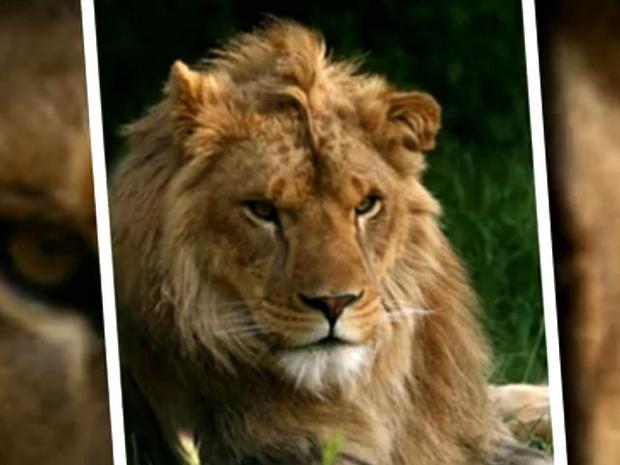 Fatal lion attack in California