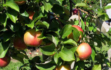 Is your organic fruit laden with antibiotics?