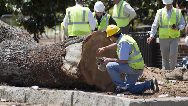 Auburn University Removes Poisoned Oaks At Toomer S Corner