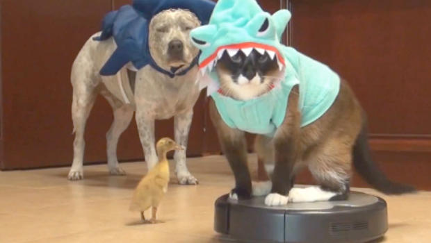 & Duckling and cat in a shark costume riding a Roomba - CBS News